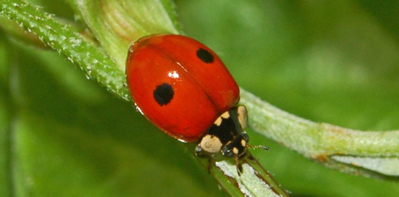Suelta de insectos beneficiosos: Control de plagas biológicas en los árboles de Leganés.