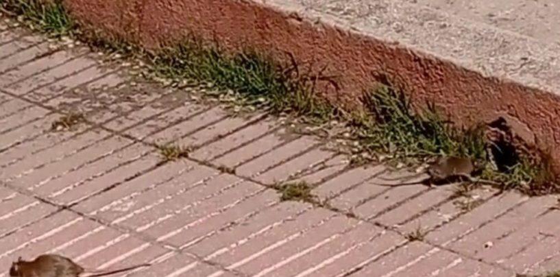 Al pésimo servicio de los buzones de basura se suman las ratas